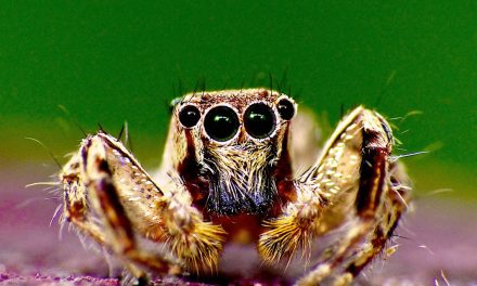 MY JUMPING SPIDERS