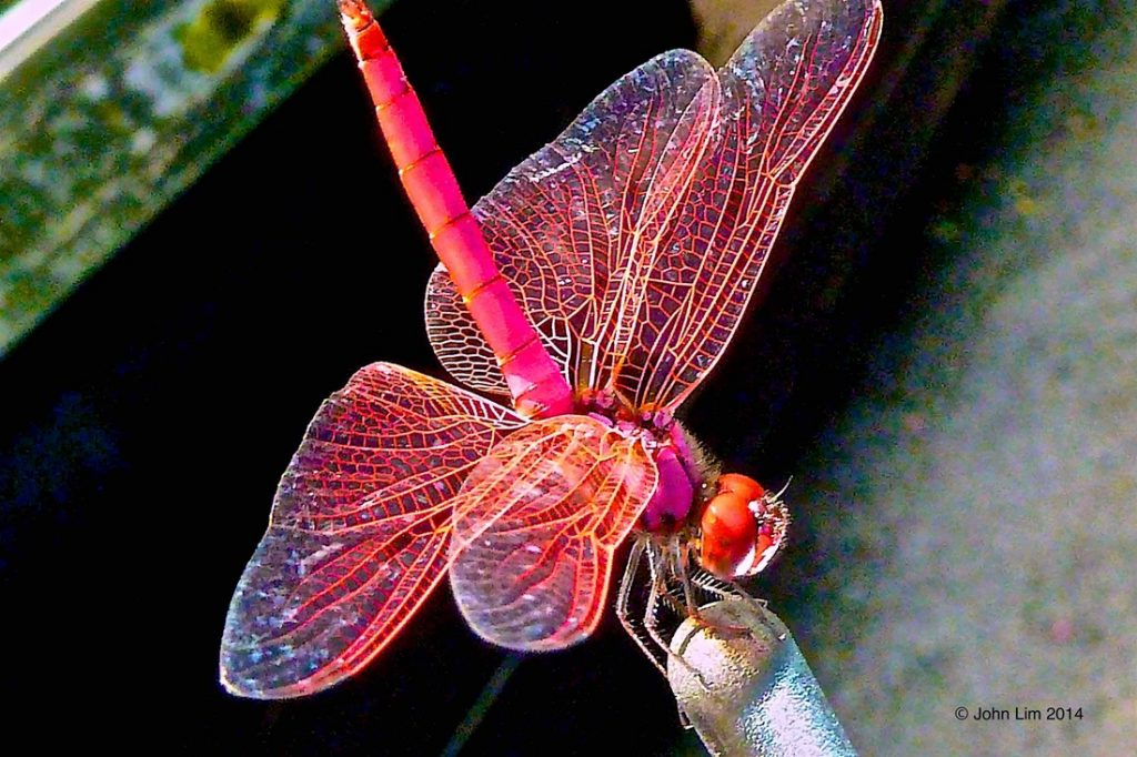 Dr Doughlittle | Photography | The Crimson Dropwing (Trithemis aurora)