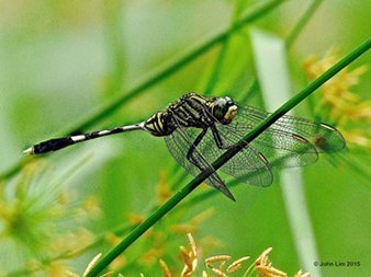 Dr Doughlittle | Dragonfly Photography | Variegated Green Skimmer