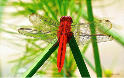 Dr Doughlittle | Photography | Common Scarlet (Crocothemis servilia)
