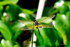 Dr Doughlittle   Photography   Yellow-barred flutterer
