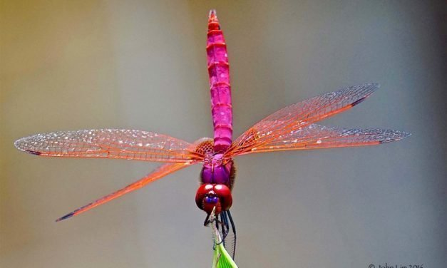 MY DRAGONFLIES