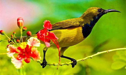 THE OLIVE-BACKED SUNBIRD