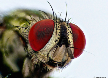 THE HEAD OF A FEMALE HOUSEFLY