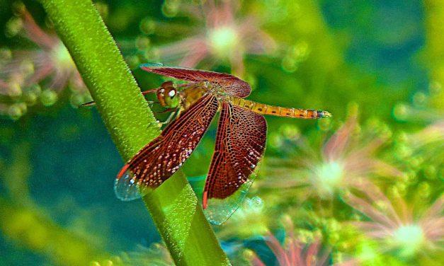 DRAGONFLIES & DAMSELFLIES-DIFFERENCES